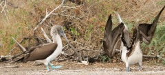 Blue-footed Boobies' courtship dance