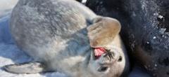 Seal pup playing
