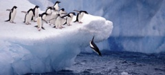 Adelie Penguins jumping off an iceberg