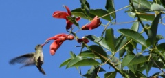 Janice and Charles - Esteros del Ibera Hummingbird