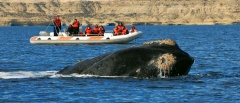 The Peninsula Valdes - whale watching