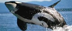 The Peninsula Valdes - killer whale