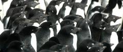 Adélie Penguins huddling for warmth