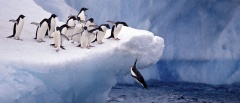 Adélie Penguins jumping off an iceberg