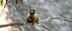 Golden-mantled tamarin monkey