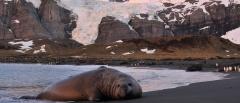 Elephant seal - Falkland Islands