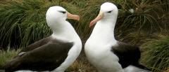 Black-browed-albatross