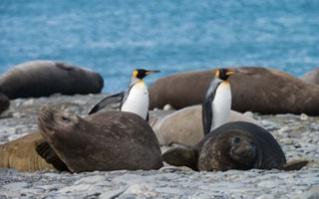 Antarctica Holiday - King penguins