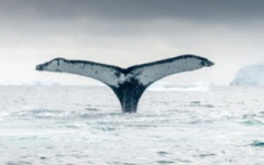 Chance viewing of a whale's tail