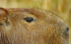 What to do in Argentina - Capybara
