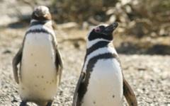 North to South - Los Pinguinos